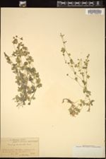 Saxifraga arachnoidea image