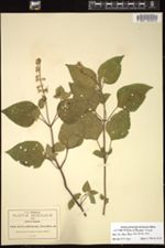 Salvia arthrocoma image