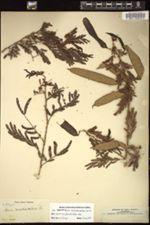 Image of Senegalia maschalocephala