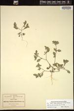 Image of Nama pueblensis