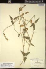 Phaseolus lozanii image