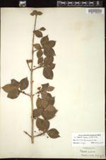 Garcinia aristata image