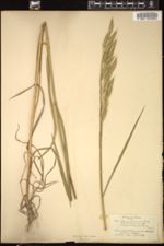 Image of Bromus arduennensis