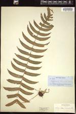 Polypodium chnoodes image