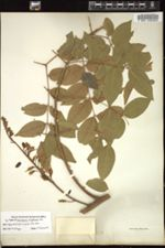Image of Caesalpinia wrightiana