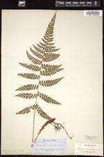 Image of Polystichum platyphyllum