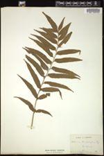 Image of Asplenium anisophyllum