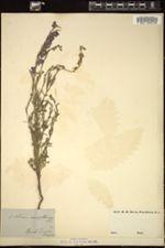Delphinium halteratum image