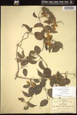 Image of Paederia pringlei