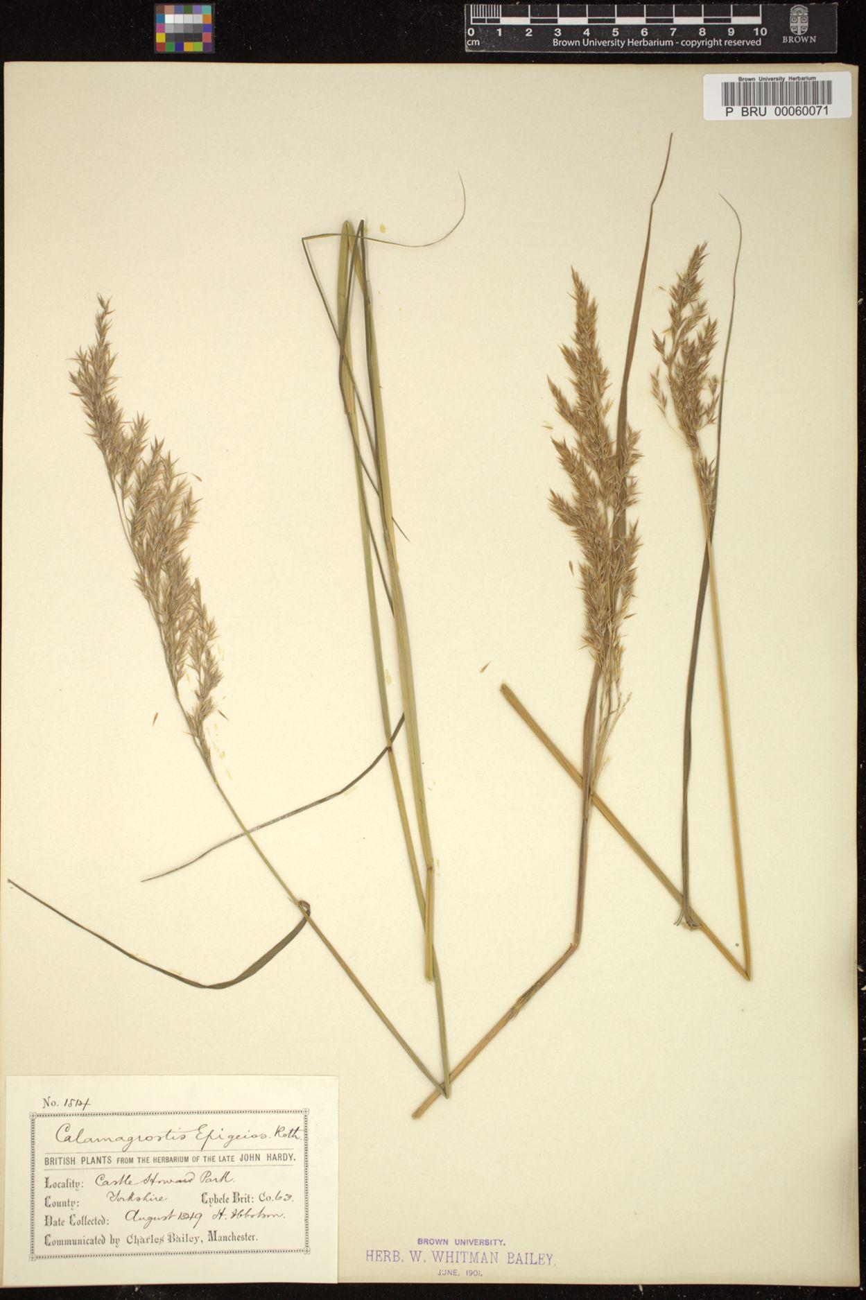 Calamagrostis epigejos image