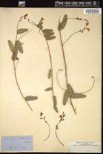 Image of Chorizema cordatum