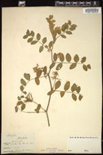 Astragalus glycyphyllos image