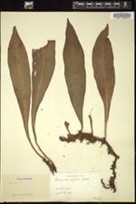Image of Hemionitis citrifolia