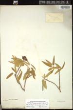 Image of Jatropha pauciflora