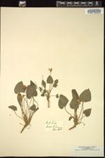 Viola hirta image
