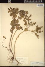 Image of Euphorbia valerianifolia