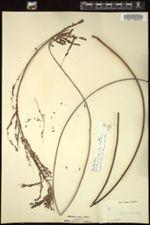 Image of Phyllanthus procerus