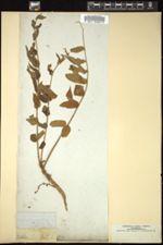 Image of Averrhoa bilimbi