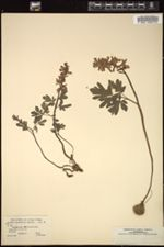 Corydalis cava image
