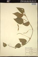 Image of Acalypha oreopola