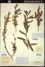 Salix triandra image