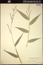 Image of Acroceras zizanioides