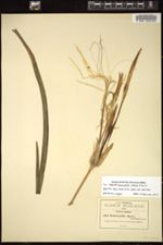 Hymenocallis acutifolia image