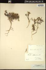 Image of Viola arborescens