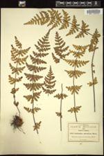 Cheilanthes aurantiaca image