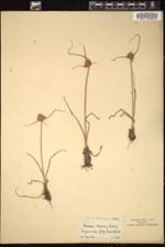 Image of Cyperus capensis