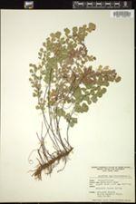 Image of Adiantum capillus-veneris