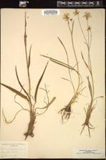 Ranunculus gramineus image