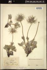 Anemone halleri image