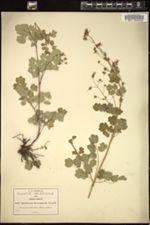 Image of Thalictrum hernandezii