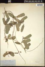 Image of Platygyna hexandra