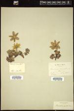 Anemone vernalis image