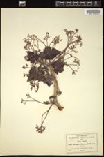 Image of Jatropha ciliata