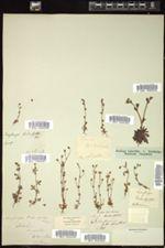 Saxifraga tridactylites image