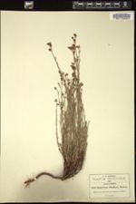 Hypericum moranense image