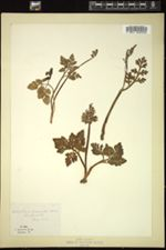 Image of Botrychium lunarioides