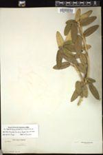 Image of Croton pervestitus