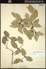Buxus citrifolia image