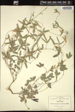 Cologania intermedia image