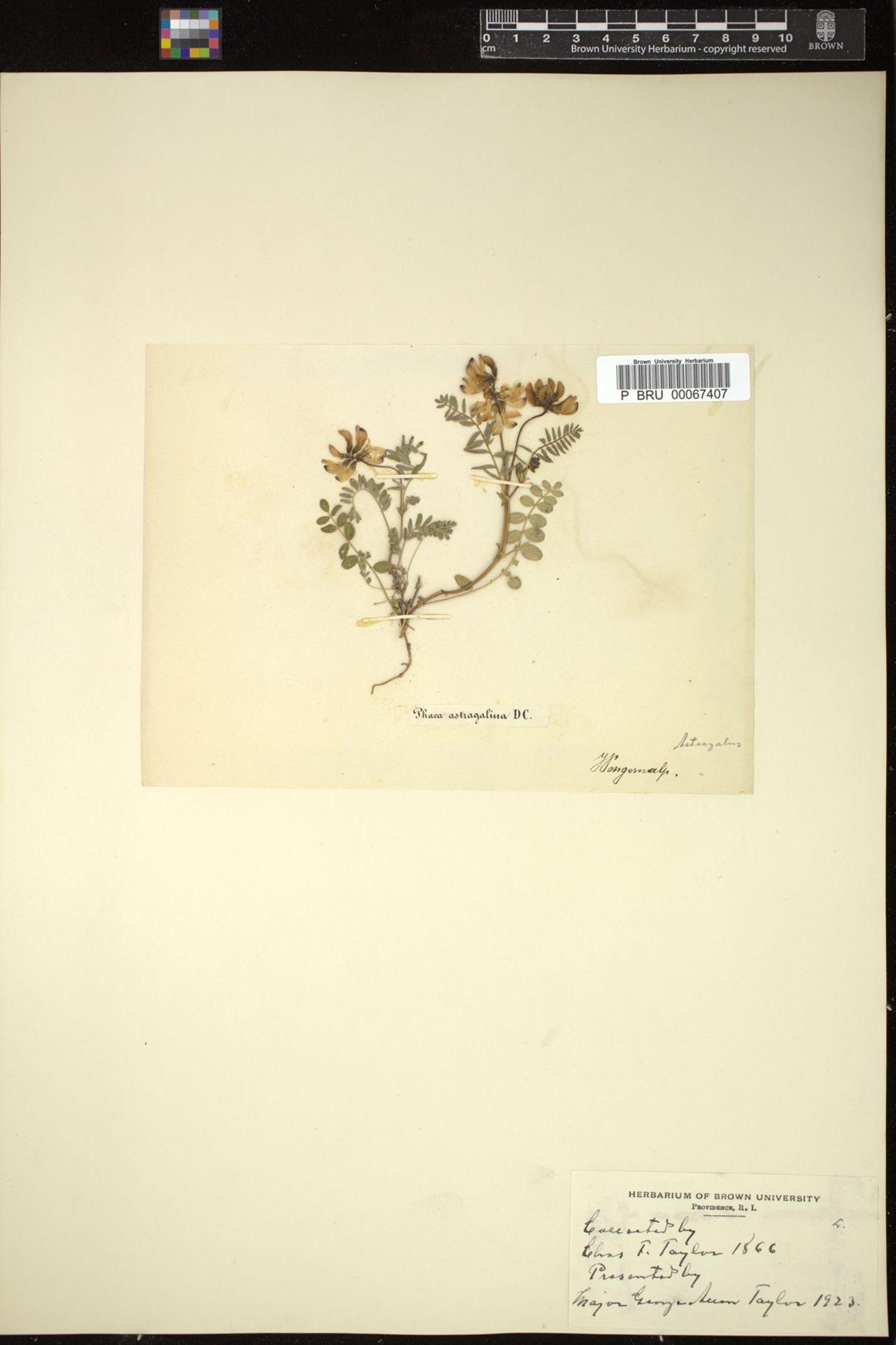 Astragalus astragalinus image