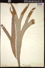 Image of Platycerium alcicorne