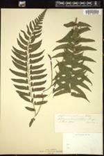Image of Asplenium arboreum