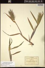 Image of Paspalum longicuspe