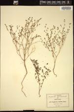 Image of Euphorbia cumbrae
