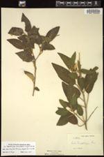 Image of Croton leucophlebius