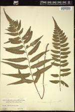 Image of Asplenium abscissum